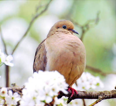 Photograph - Spring Dove by Kerri Farley