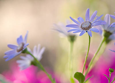Pericallis Photograph - Spring Dreams by Dorothy Lee