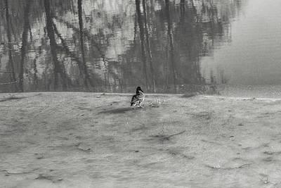 Photograph - spring duck BW #e8 by Leif Sohlman