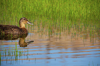 Photograph - Spring Duck by Karol Livote