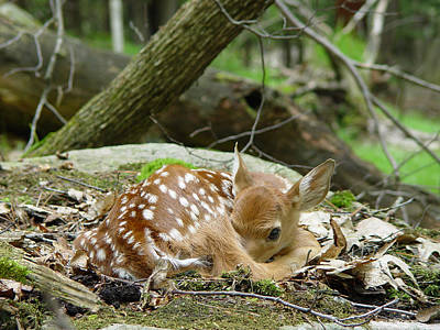 Scifi Portrait Collection - Spring Baby - White Tailed Fawn Resting by Ian Mcadie