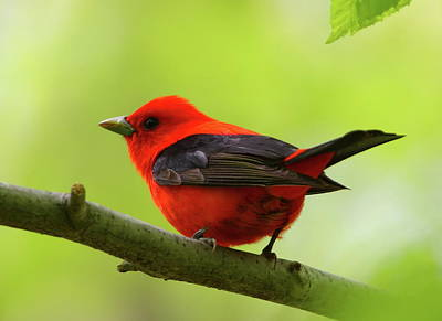 Spring Flame - Scarlet Tanager Art Print