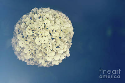 Photograph - Spring Flower In Vintage Tint And Light From Lens. Viburnum Macrocephalum by Michal Bednarek