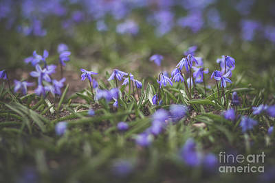 Photograph - Spring Flowers - Scilla by Viviana Nadowski