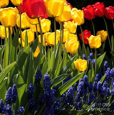 Yellow On Blue Photograph - Spring Flowers Square by Carol Groenen