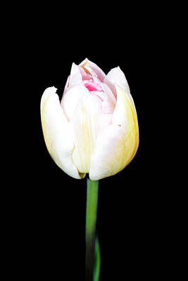 Springflowers Digital Art - Spring Flowers Tulip  by Tommytechno Sweden