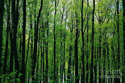 Photograph - Spring Forest by Kathi Shotwell