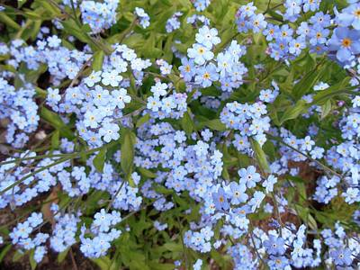 Photograph - Spring Forget Me Not by Patricia E Sundik
