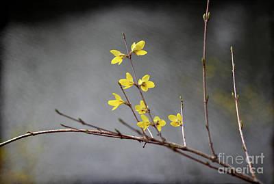 Photograph - Spring Forsythia by Karen Adams