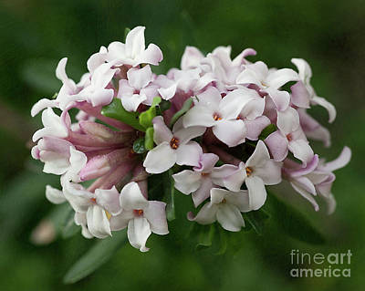 Photograph - spring Garden -- everblooming Daphne by Ann Jacobson