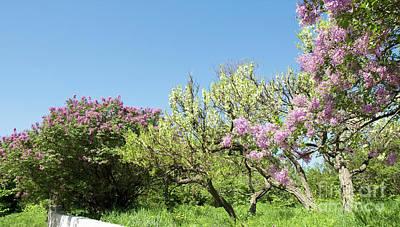 Lilac Photograph - Spring Garden by Irina Afonskaya