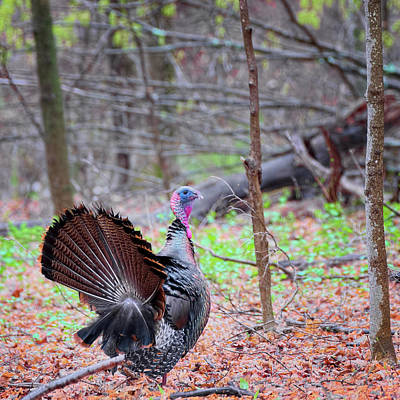 Art Print featuring the photograph Spring Gobbler Square by Bill Wakeley