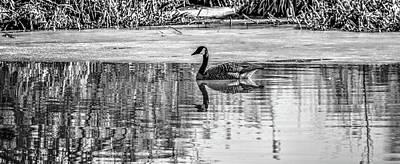 Photograph - Spring Goose Bw #e8 by Leif Sohlman