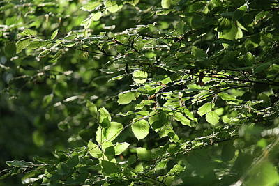 Photograph - Spring Green Beech Tree Leaves by Martin Stankewitz