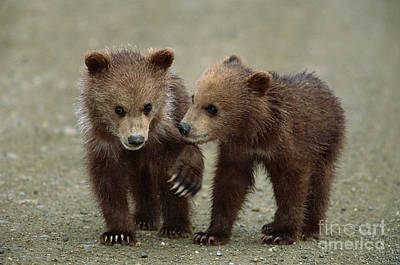 Photograph - Spring Grizzly Cubs In Denali by Yva Momatiuk John Eastcott