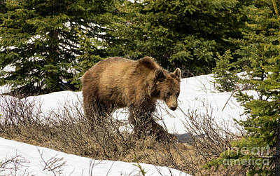 Photograph - Spring Grizzly by Louise Magno