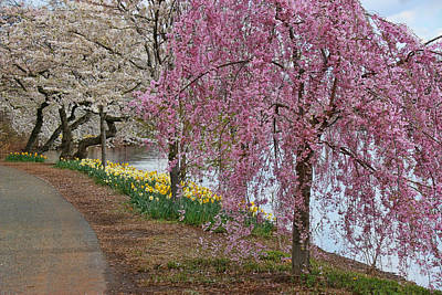 Photograph - Cherry Blossom Trees Of Branch Brook Park 13 by Allen Beatty