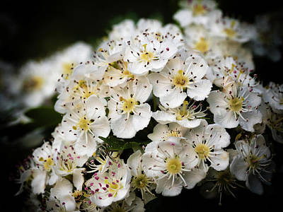 Photograph - Spring Hawthorn by Nick Bywater