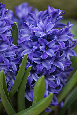 Photograph - Spring Hyacinths by Dale Kincaid