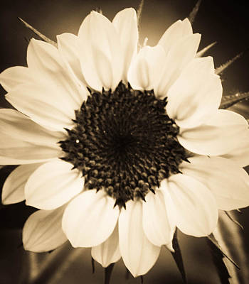 Photograph - Spring In Sepia by Dana  Oliver