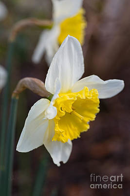 Photograph - Spring Into Spring Daffodils by Joy Watson