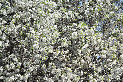 Pear Tree Painting - Spring Is Here  by Ruth  Housley
