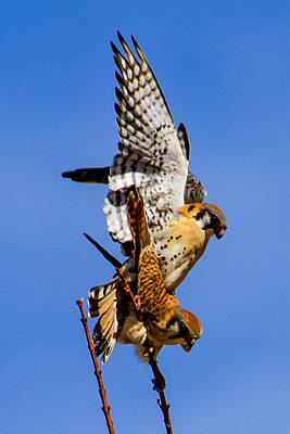 Bird Of Prey Photograph - Spring Kestrel Mating Pair by Janis Knight