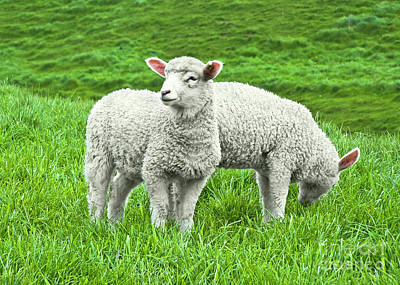 Photograph - Spring Lambs by Terri Waters