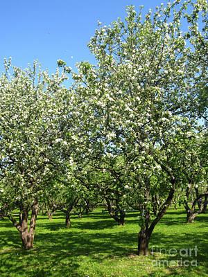 Photograph - Spring Landscape - Apple Garden In Blossom by Irina Afonskaya