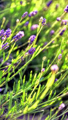 Photograph - Spring Lavender by Jerry Sodorff
