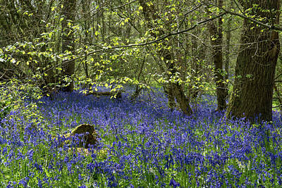 Photograph - Spring Leaves And Bluebells by Gary Eason