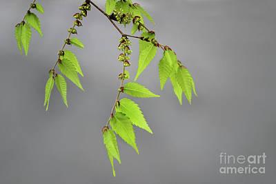 Photograph - Spring Leaves by Karen Adams