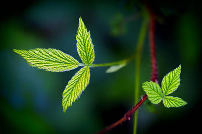 Photograph - Spring Leaves On A Wild Vine by Carolyn Derstine