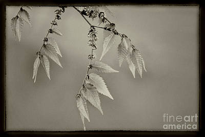 Photograph - Spring Leaves Sepia by Karen Adams