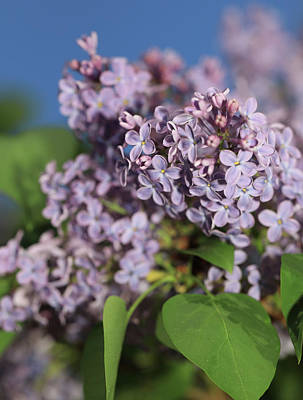 Photograph - Spring Lilac Bloom by Dan Sproul