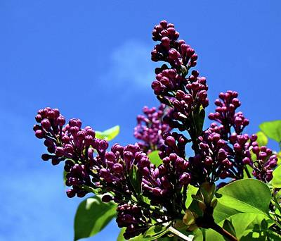 Photograph - Spring Lilac by Nick Kloepping