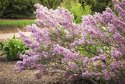 Photograph - Spring Lilacs In Full Bloom by Joni Eskridge