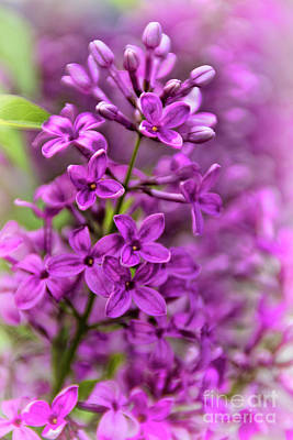 Photograph - Spring Lilacs by Janice Rae Pariza