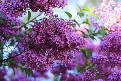 Photograph - Spring Lilacs by Lynn Hopwood