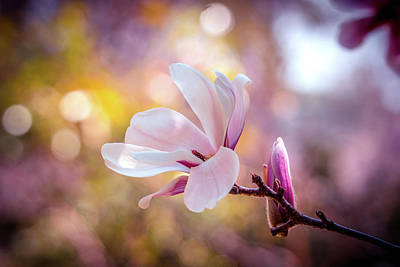 Photograph - Spring Magnolia Bloom by Lilia D