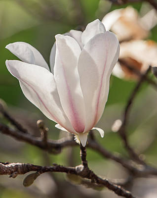 Photograph - Spring Magnolia In Dallas by Teresa Wilson