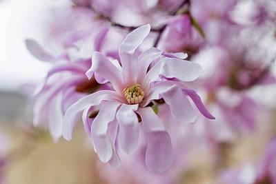 Photograph - Spring Magnolia by Lynn Hopwood