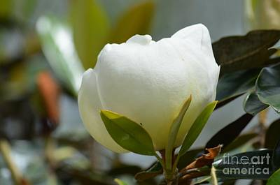 Photograph - Spring Magnolia by Maria Urso