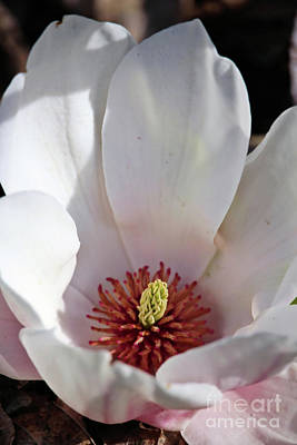 Photograph - Spring Magnolia by Victor K