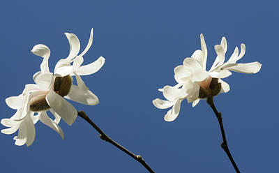 Photograph - Spring Magnolias by Haleh Mahbod