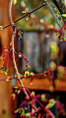 Photograph - Spring Maple Branch by Jerry Sodorff