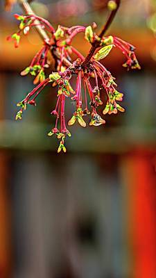 Photograph - Spring Maple Cluster by Jerry Sodorff