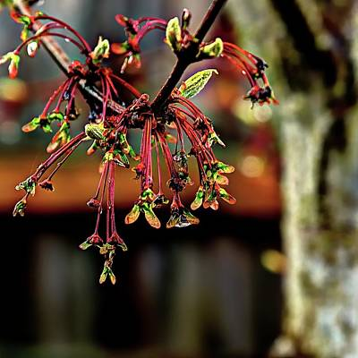 Photograph - Spring Maple by Jerry Sodorff