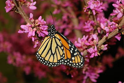 Photograph - Spring Monarch by Living Color Photography Lorraine Lynch