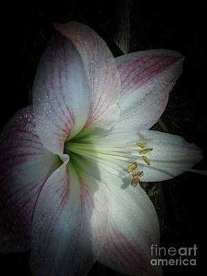 Photograph - Spring Morning Amaryllis by Judy Hall-Folde